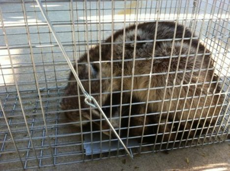 Rodent and Raccoon Decontamination
